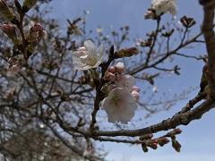 明徳桜①b.jpg